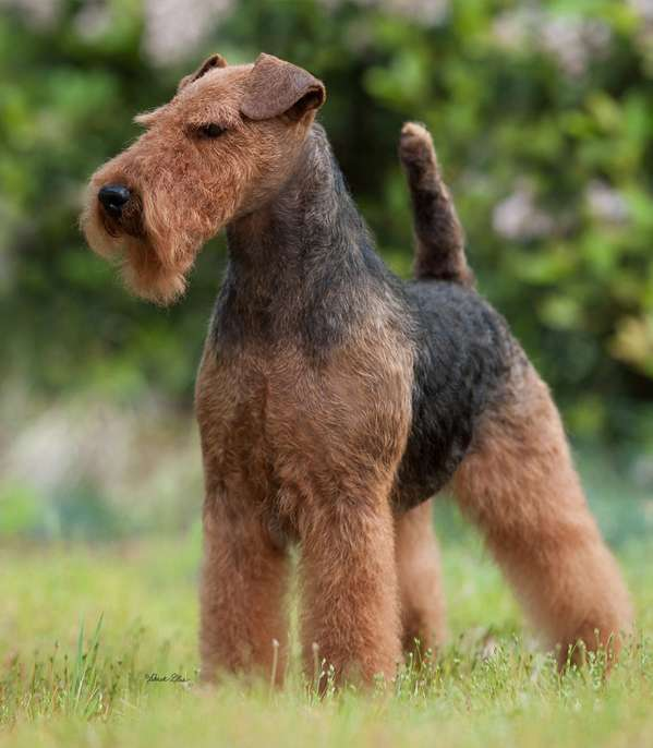 Available Puppy Girl – Bayleigh Welsh Terriers