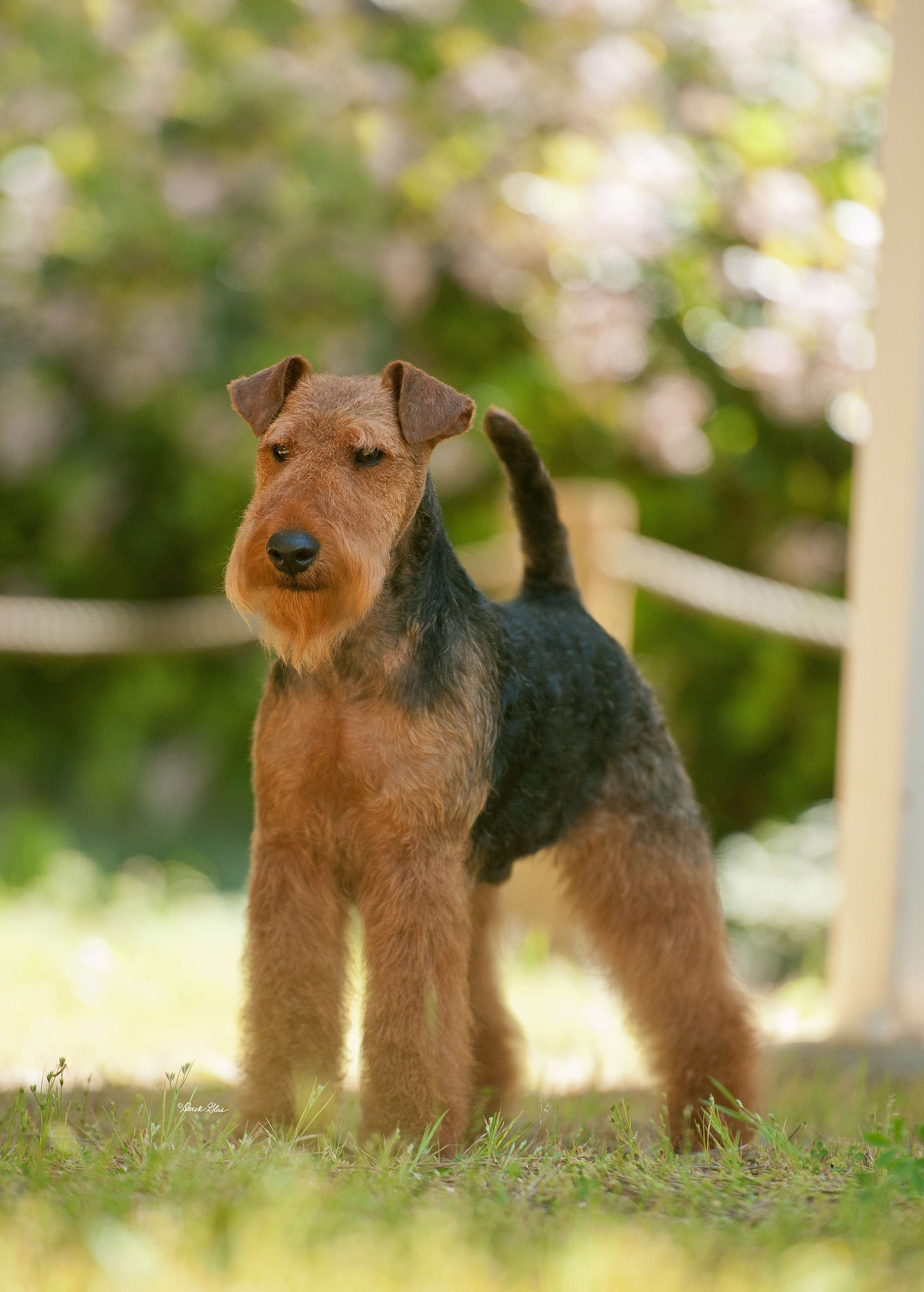 George Bayleigh Welsh Terriers